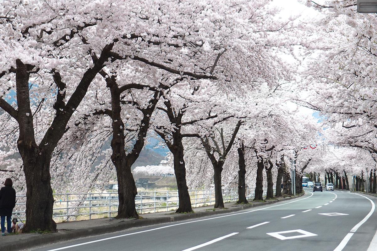 馬見ケ崎の桜並木